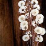 Butterbur flowers