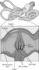 Equilibrium organ in the inner ear